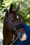 midnight rose horse halter close up performa ride
